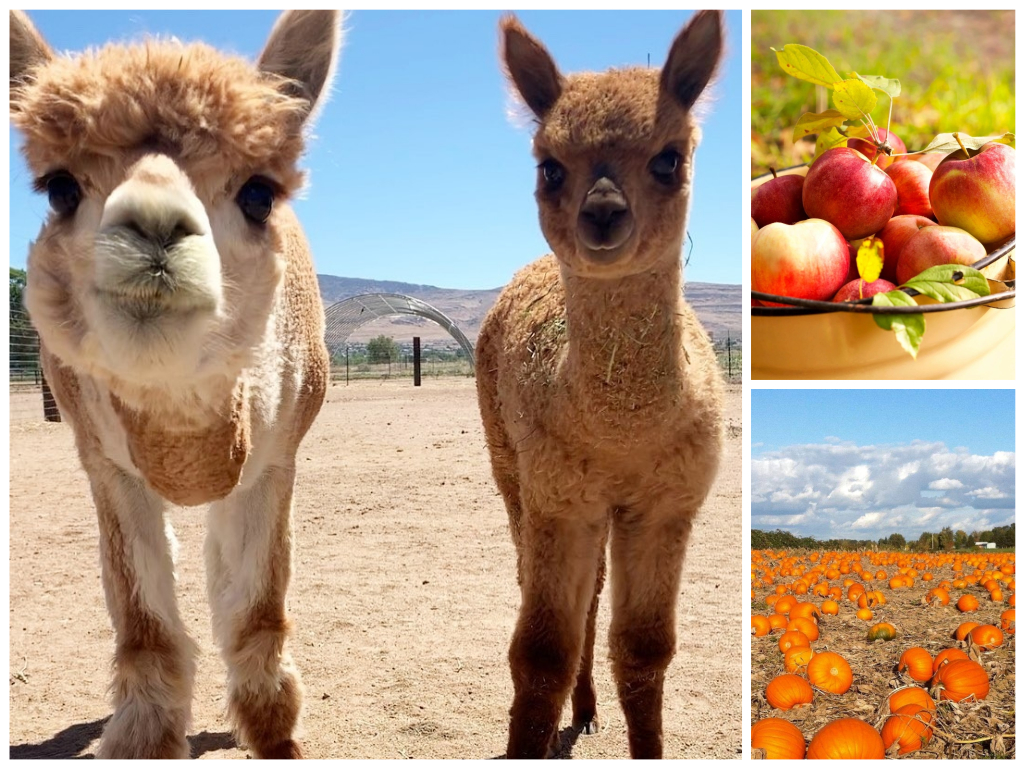featured image showing two baby sheeps from Andelin Farms in Reno, Nevada, a basket of agape organic apples and pumpkins from Lattin Farms Pumpkin Patch